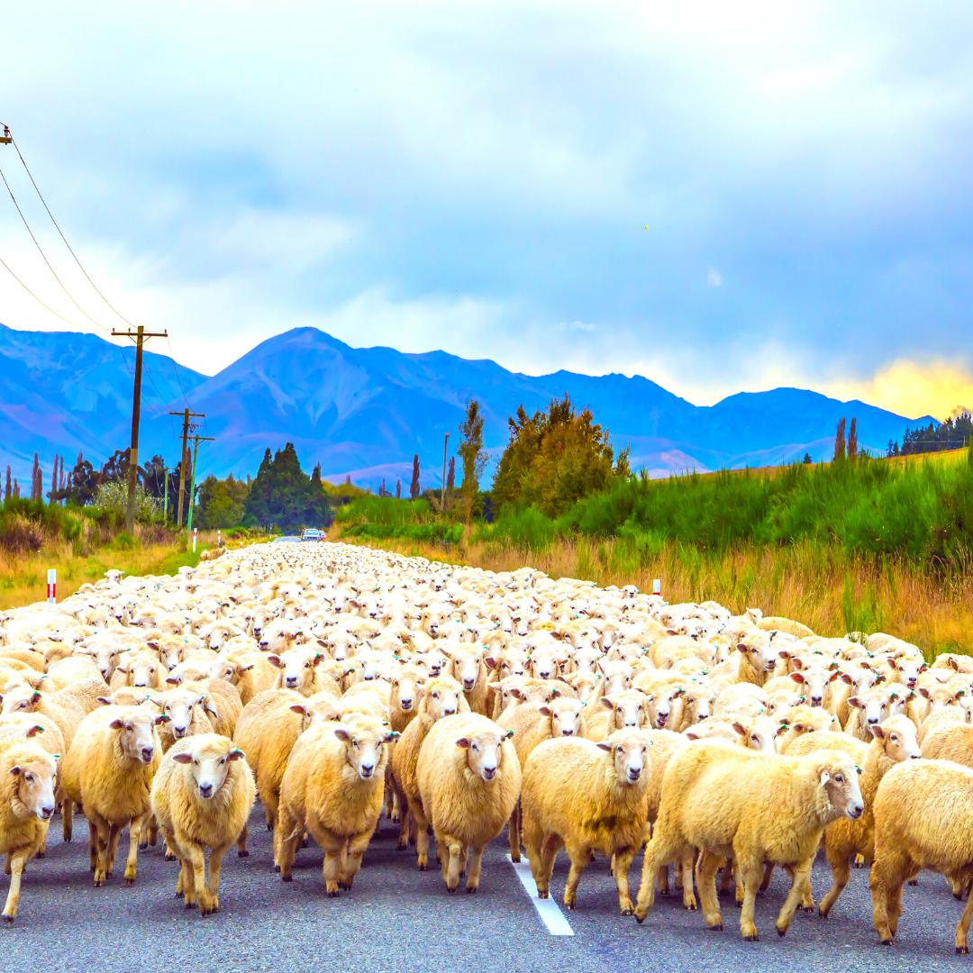 Community Spotlight - Trailing of the Sheep Festival Main Photo